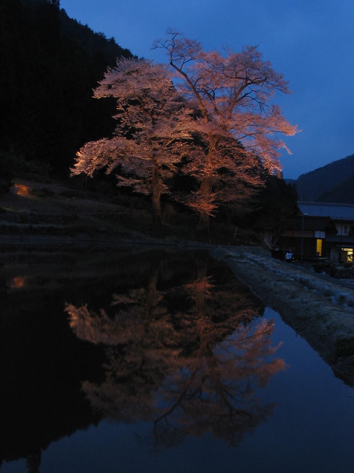 Nawashirozakura__002